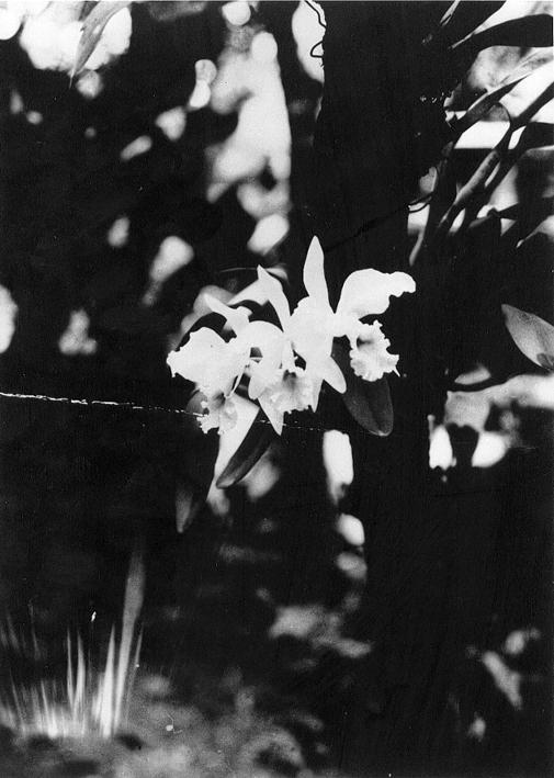 Uma das orquídeas da coleção de Júlio Conceição.
